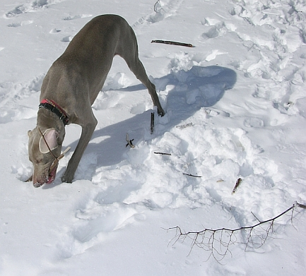 dog and knotweed