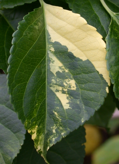 close-up of variegated Celastrus leaf