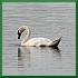 2=mute swan --> charismatic megafauna