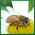 3=bee --> Africanized bees, honeybees, hybrid bumblebees