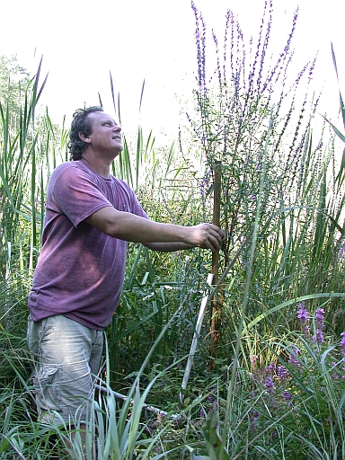 photo o Fred and loosestrife and cattails in a plot