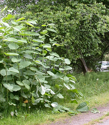photo of giant knotweed