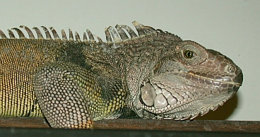 photo of pet green iguana