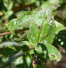 photo of leaf damage on purple loosestrife