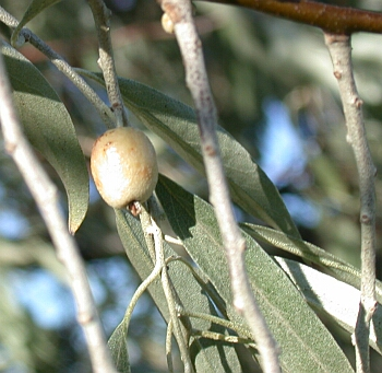 Photo of Russian Olive