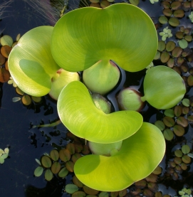 photo of Water Hyacinth, Eichhornia crassipes