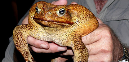 giant freaking cane toad!