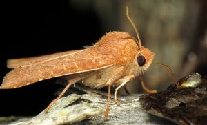 Moth slurps up bait