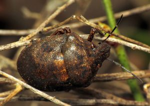 Shieldbacked Pine Seed Bug (Tetyra bipunctata), a new Mass. Bugguide record