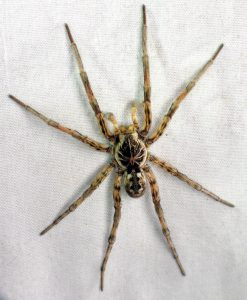 A ginormous wolf spider (Hogna baltimoriana) showed up on the sheet towards the end of the night.